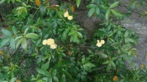 Yellow Primroses are blooming.