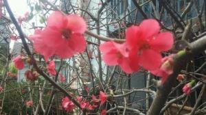 Flowering Quince.
