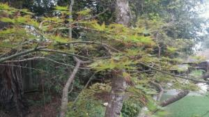 The Japanese Maple- new leaves.